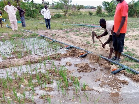 TAAT makes dry season farming easy for rice farmers in Nigeria