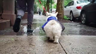 Winston the White Corgi's Rainy Day Fun