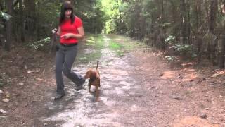 Dog Training, Vizsla, Day 6: Distraction Training, Swimming, Big Blue Ball