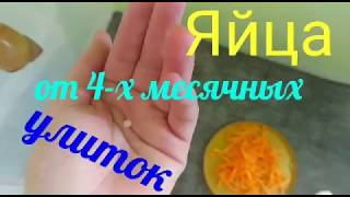ЯЙЦА ОТ 4-Х МЕСЯЧНЫХ УЛИТОК.
