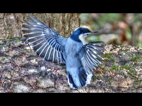 Dance Of The Nuthatch !