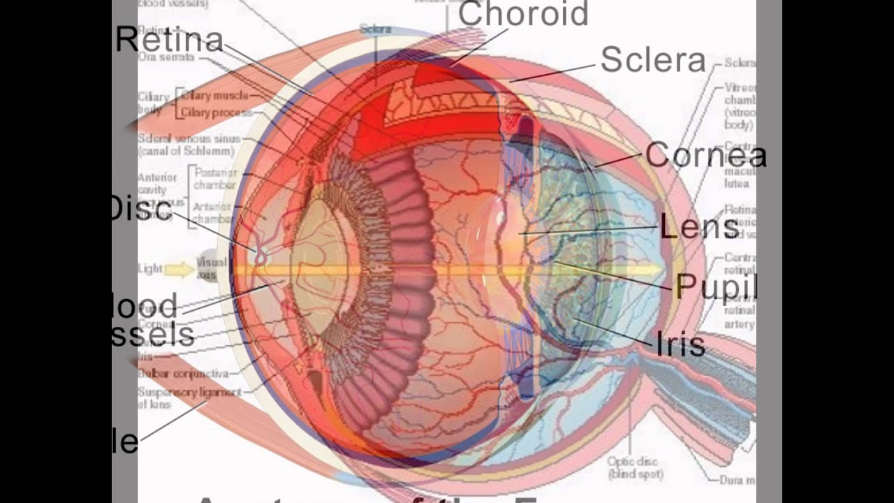 the description of human eye Picture of the eyes multiple genes inherited from each parent determine a person's eye colour the amazing human eye: your guide to how the eye sees.