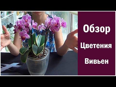 Обзор Цветения орхидеи Сого Вивьен вариегатный! Flowering  Sogo Vivien Variegata Orchid!
