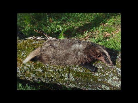 Охота на барсука - Охота