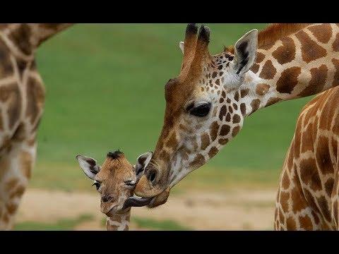Download Giraffes - Wild Africa   Giraffe Behaviour and Lifestyle Habitat