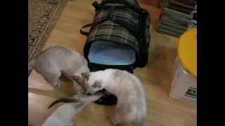 Новый член семьи тайских кошек - двухмесячный котёнок! Тайские кошки - это чудо! Funny Cats
