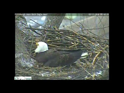 Hays, Pa. Eagles 2.17.16 847am A Look At Their 2 Eggs