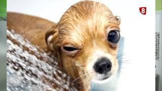 Ojos en alrededor inflamación de perros los