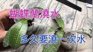 蝴蝶蘭要多久澆水一次? 如何判斷要不要澆水呢? 對了 他們可是二個星期都沒澆水了
