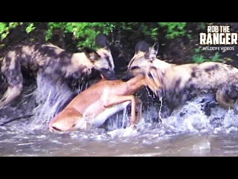 AMAZING FOOTAGE!!: Swimming Impala Caught By African Wild Dog Pack!!!