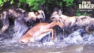 AMAZING GRAPHIC FOOTAGE!!: Swimming Impala Brutally Killed By African Wild Dog Pack!!!