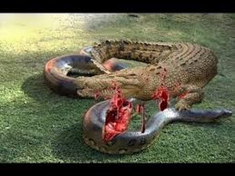 Crocodile vs alligator vs caiman vs gharial - photo#22