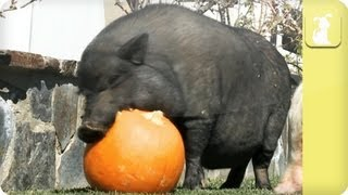 Cleetus the pig eats a tasty pumpkin