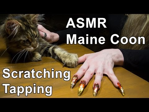 ASMR cat maine coon scratching tapping long nails