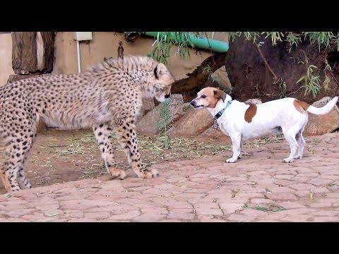 African Cheetah Cub Versus Jack Russell Terrier – Cat & Dog Fight Battle of Will – Cheetah Thug Life