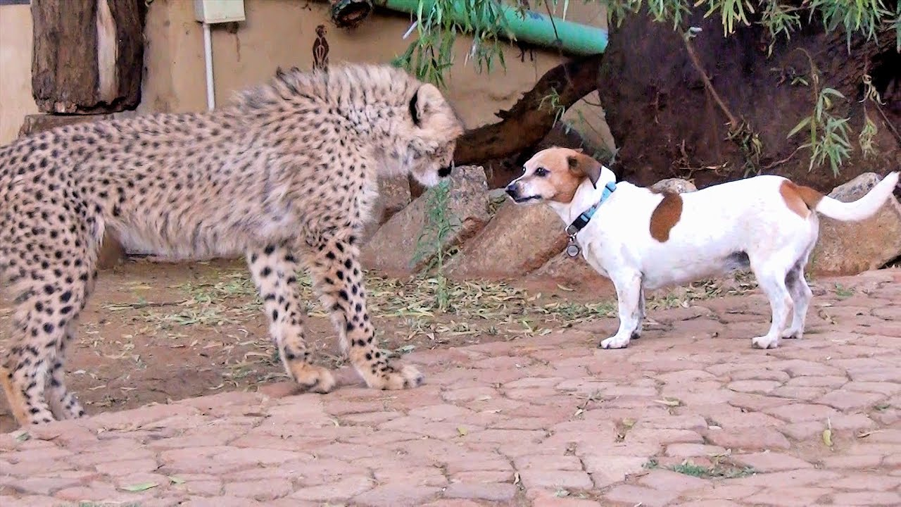 African Cheetah Cub Versus Jack Russell Terrier Cat Dog Fight Battle Of Will Cheetah Thug Life