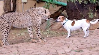African Cheetah Cub Versus Jack Russell Terrier - Cat & Dog Fight Battle of Will - Cheetah Thug Life
