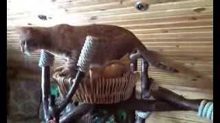 Оцикет  Kiry-Kiry Fray,  Bellezzo Natural питомник редких пород кошек.