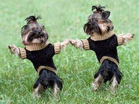 Dancing dogs  funny video  Perros  Bailandos Video Chistoso