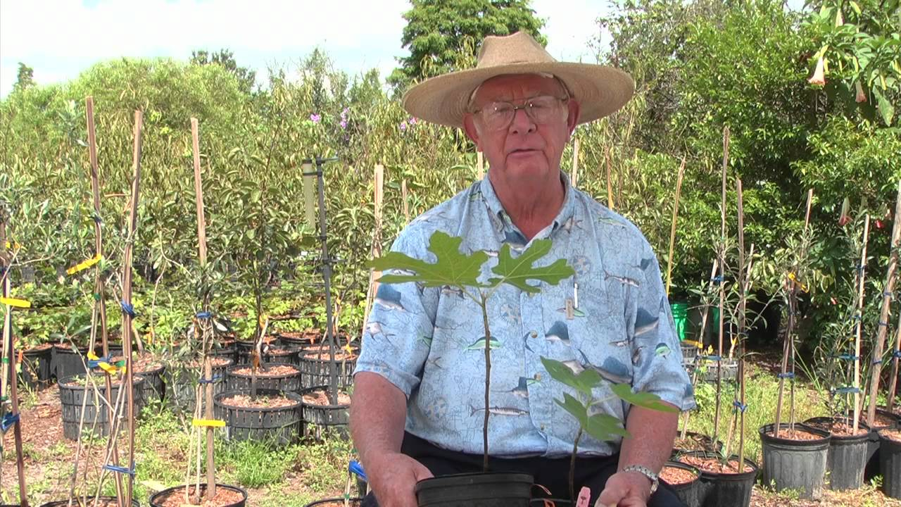 how to make a fig tree grow faster