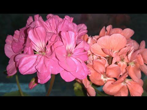 Моя цветущая пеларгония герань в начале мая