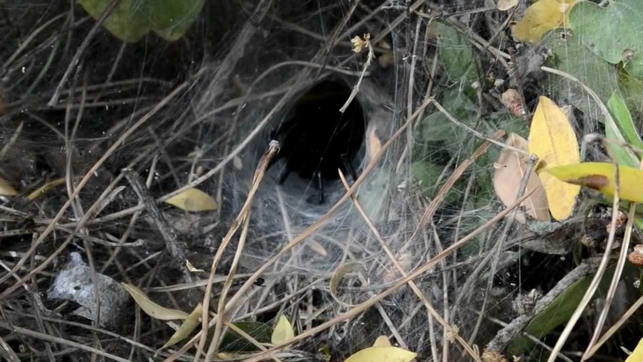Cómo se ve una telaraña de tarántula