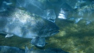 Giant salmon, large enough to feed 100 people, accidentally discovered in in Tasman district