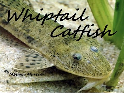 AMAZING CATFISH CLEANER | WHIPTAIL CATFISH