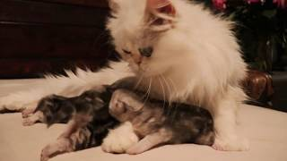 Shaded Silver Persian Kittens - Week 1 - 2nd Litter 2020/05/27