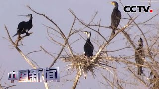 [中国新闻] 黑龙江:嫩江边迎来数千只鸬鹚飞抵筑巢   CCTV中文国际