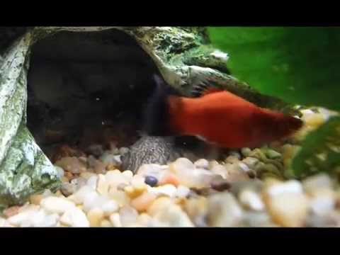 Tropical Fish - Clown Pleco Eating