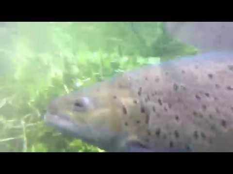 Trophy Brown Trout Waitahanui River