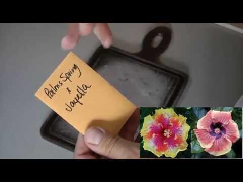 Посадка семян Гибискусов в домашних условиях