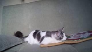 котёнок Мейн кун P.Rahat Lukum Big Paw*Ru