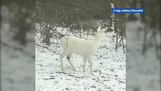 White deer spotted walking through the snow