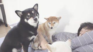 늦잠자는 주인 깨우는 강아지들 ㅋㅋㅋ