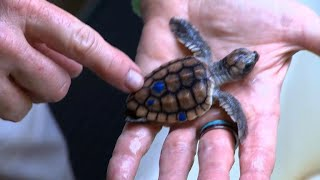 Biologists alarmed by decline of male green sea turtles