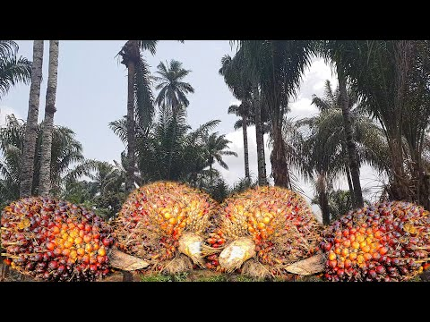 The TRUTH About PALM OIL Production In Nigeria   Flo Chinyere