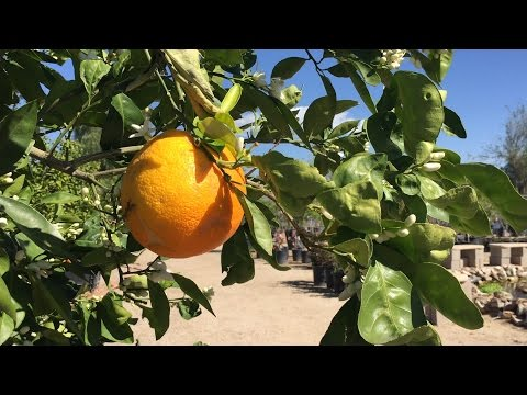 Best Watering Practices For Your Citrus Tree