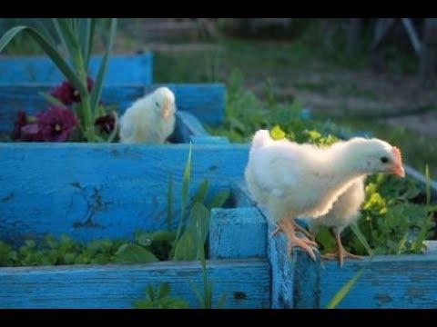 Проявление инстинктов у цыплят леггорн.