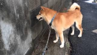 柴犬 スペックの散歩 尼崎 城内