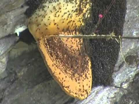honey hunting in laprak village - YouTube