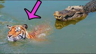 Лучшие бои крокодилов против больших кошек - Битвы животных