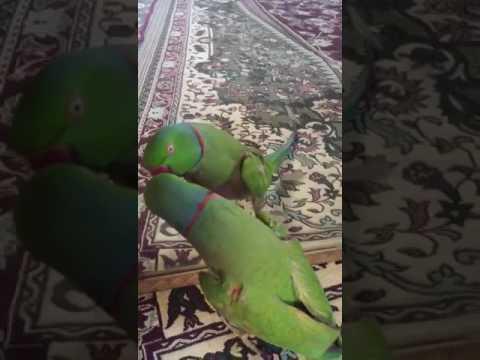 Talking parrot in persian language