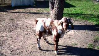 Genesis for Sale $2000 or live coverage $ 150 at GET Boer Goats