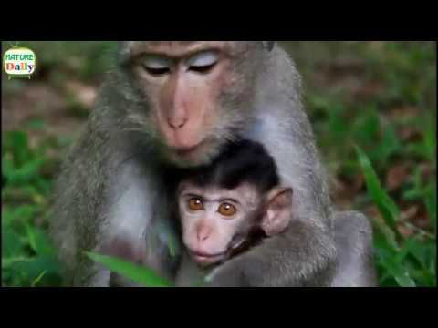Lovely new baby monkey life with mom,  Nature Daily ST 96