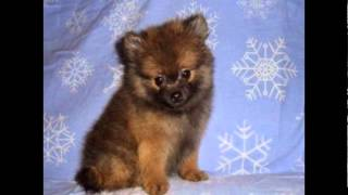 How to Potty Train a Pomeranian Puppy