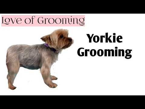 My Technique For Trimming Yorkie Legs Youtube