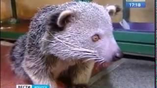 Кошачий медведь появился в Иркутской зоогалерее. Но всего на две недели