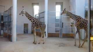 Żyrafy w krakowskim ZOO